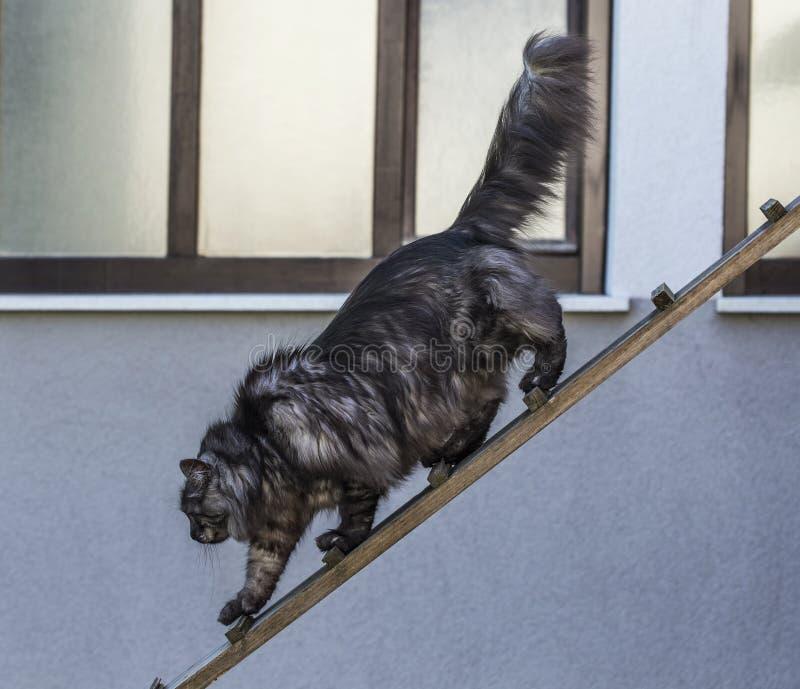 De zilveren kat gaat uit royalty-vrije stock foto
