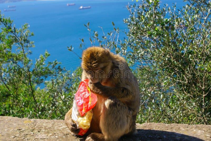 De zitting die van de Barbabyaap op muur het havengebied, Gibraltar, het UK, Westelijk Europa overzien royalty-vrije stock fotografie