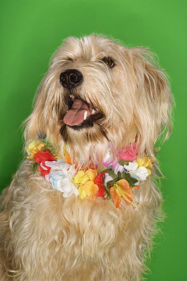 De zitting die van de hond lei draagt. royalty-vrije stock afbeelding