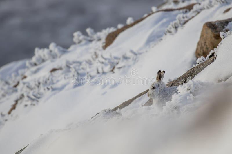 De zitting van berghazen, leggend in sneeuw en heide op een helling in de winter in het rookkwartsen nationale park, Schotland stock foto
