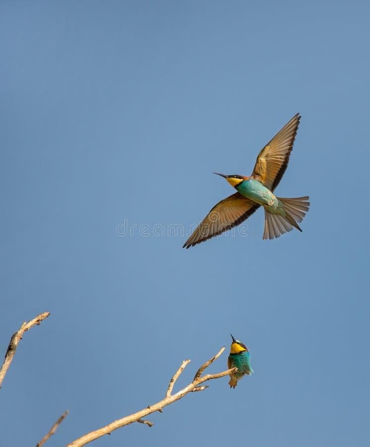 De zitting van de bijeneter op een tak die voor een bijeneter zorgen die in de blauwe hemel vliegen stock fotografie