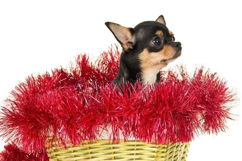 De zitting van de Chihuahuahond in een mand royalty-vrije stock fotografie