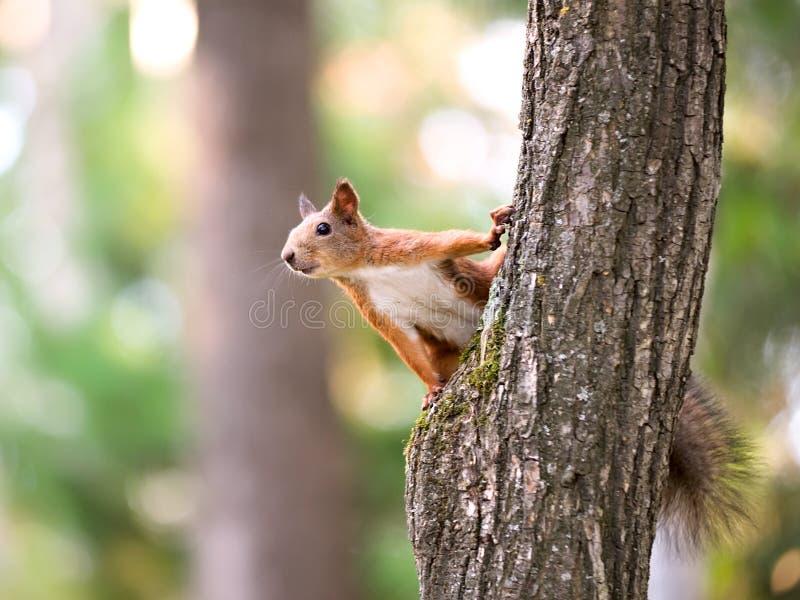 De zitting van de eekhoorn op de boom royalty-vrije stock foto