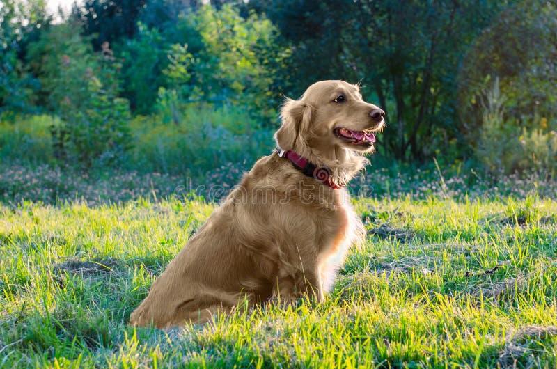 De zitting van de golden retrieverhond in aard royalty-vrije stock fotografie