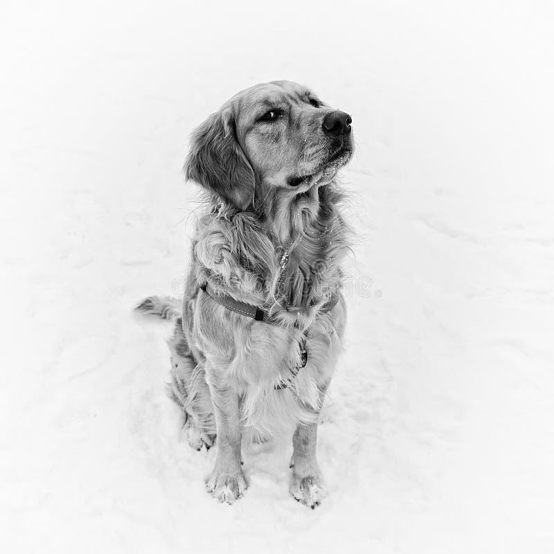 De zitting van de hond in de sneeuw royalty-vrije stock foto