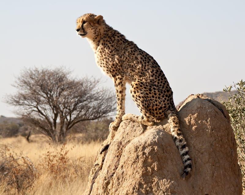 De zitting van de jachtluipaard op rots stock afbeeldingen