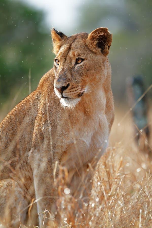 De zitting van de leeuwin in de regen stock foto