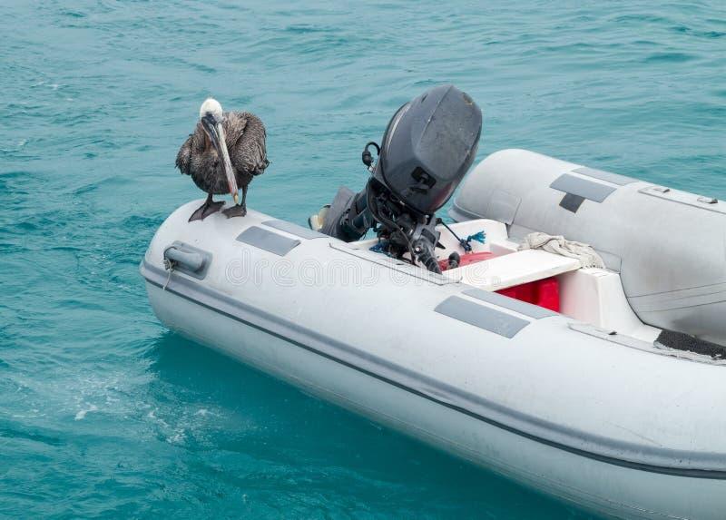 De zitting van de Pelikaan van de Galapagos op opblaasbaar vlot stock foto