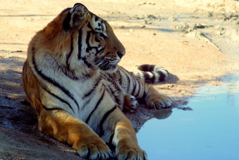 De zitting van de tijger door de pool stock foto's