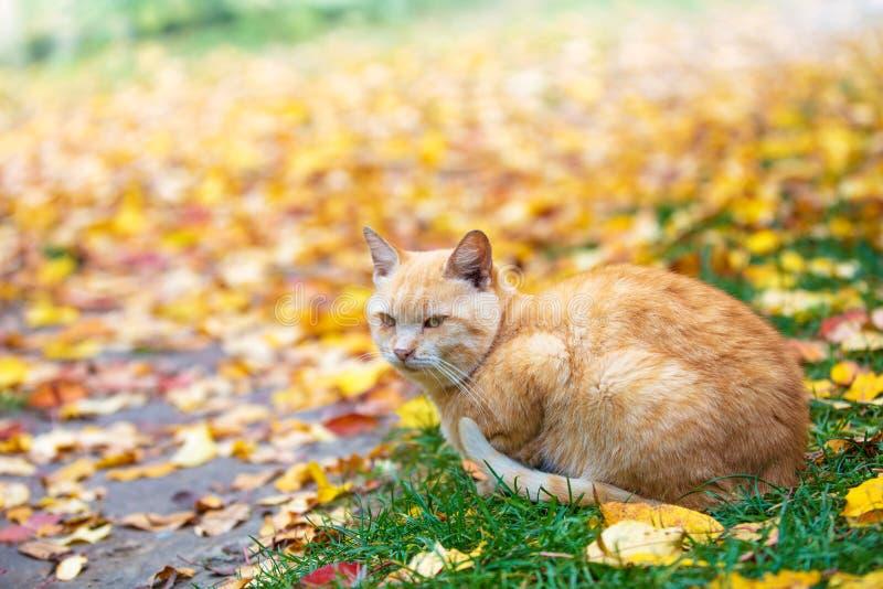 De zitting van de gemberkat op gevallen bladeren stock afbeeldingen
