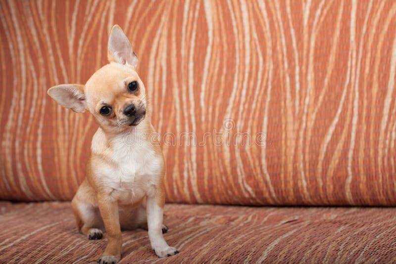 De zitting van het Chihuahuapuppy op bank, 4 maanden oud wijfjes stock fotografie