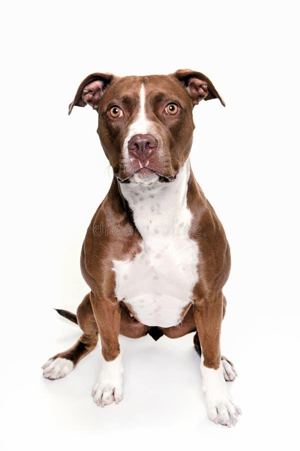 De zitting van het de hondportret van de Pittstier op witte achtergrond royalty-vrije stock fotografie