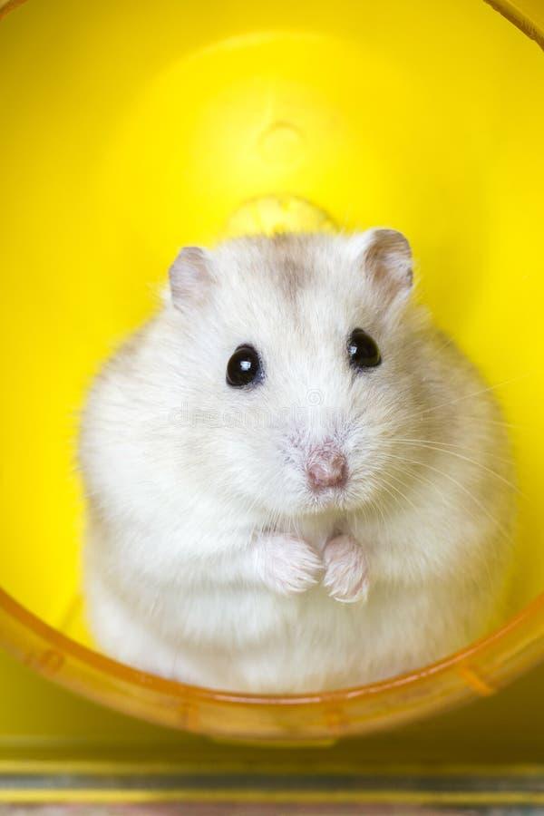 De zitting van het hamsterhuisdier bij het wiel voor het lopen stock foto's