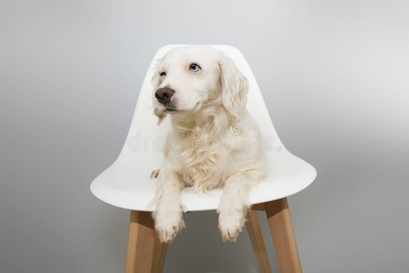 De zitting van het hondpuppy op witte Skandinavische stoelstijl tegen grijze achtergrond, met blauwe ogen royalty-vrije stock afbeeldingen