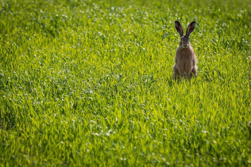 De zitting van het konijn in de weide stock afbeelding