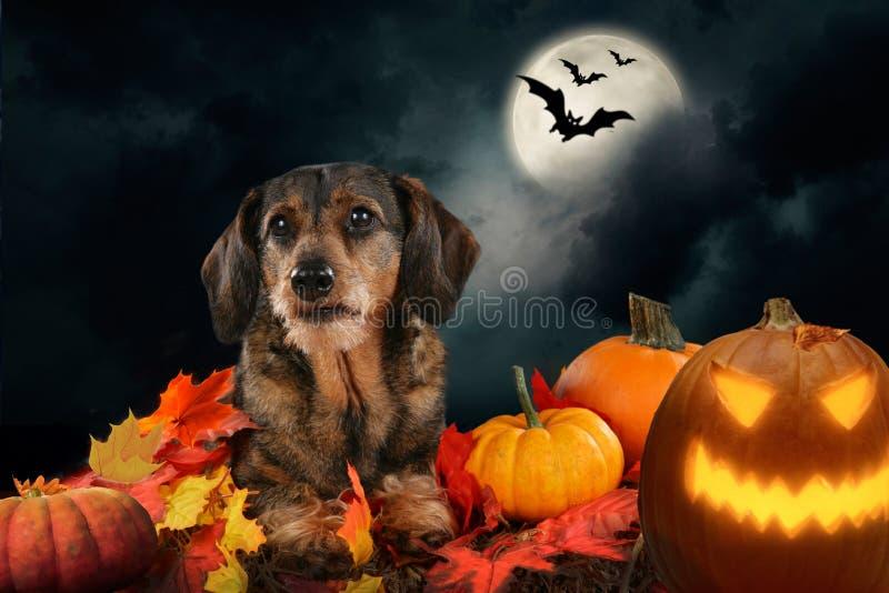 De zitting van de hondtekkel in Halloween-decoratie stock afbeeldingen