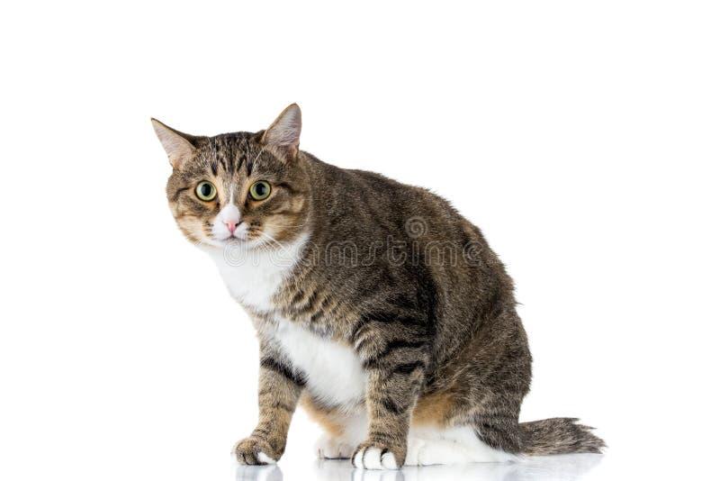 De zitting van de kat op witte achtergrond royalty-vrije stock fotografie
