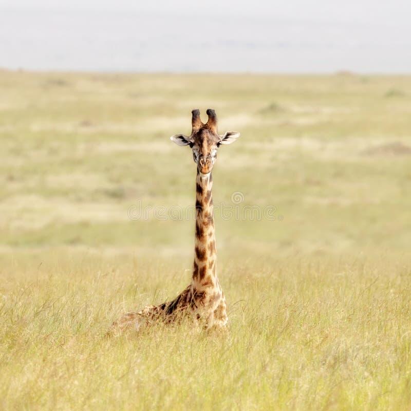 De zitting van de Masaigiraf in het zachte lange gras van Masai Mara royalty-vrije stock foto