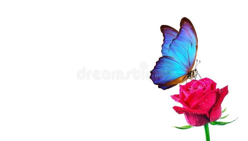 De zitting van de Morphovlinder op roze ge?soleerd op wit rode rozen en heldere blauwe vlinder dichte omhooggaand Decor voor groe royalty-vrije stock foto's