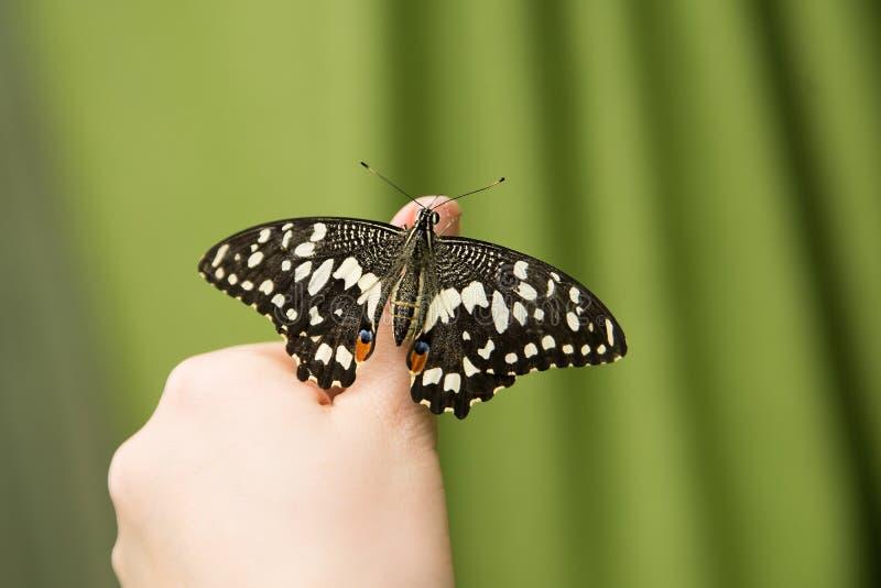 De zitting van Papiliodemoleus op menselijke vinger Handvlinder stock foto's