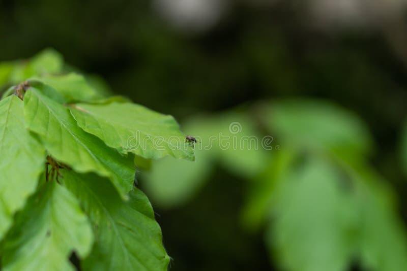 De zitting van de parasietmijt op een groen blad Gevaar van tikbeet stock foto