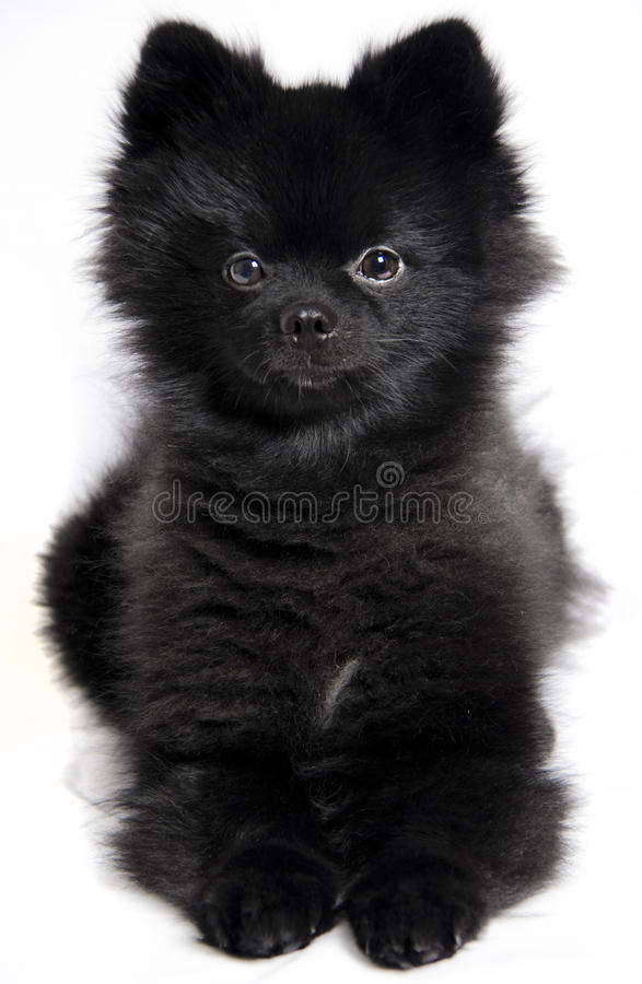 Pomeranian zit royalty-vrije stock foto's