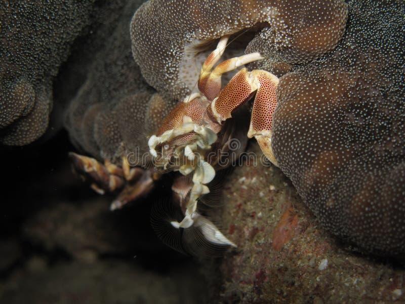 De zitting van de porseleinkrab in een maculatus van anemoonneopetrolisthes stock fotografie