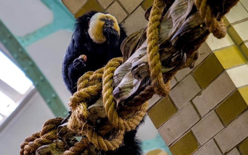De zitting van de Sakiaap op een houten boomstam die iets in de dierentuin van Amsterdam eten stock foto's
