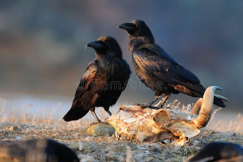 De zitting van twee ravencorvus corax op een schedel en kijkt aan de kant royalty-vrije stock afbeelding