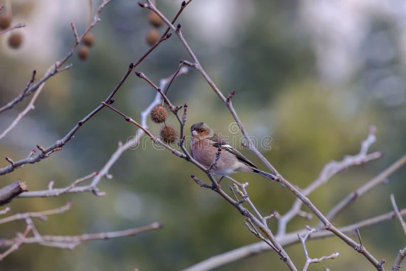 De zitting van vinkfringilla coelebs op een tak in het de winterbos royalty-vrije stock afbeelding
