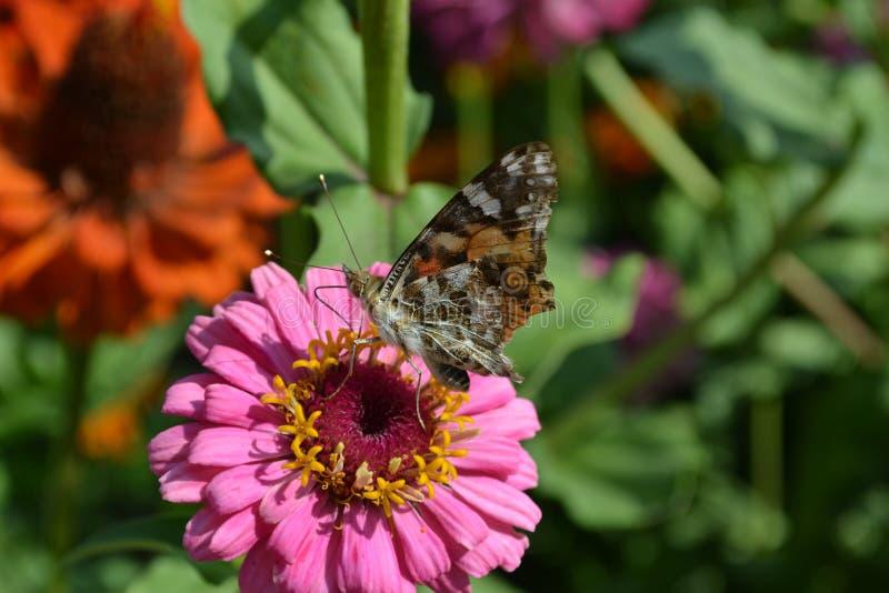 De zitting van de vlinder op een bloem royalty-vrije stock foto