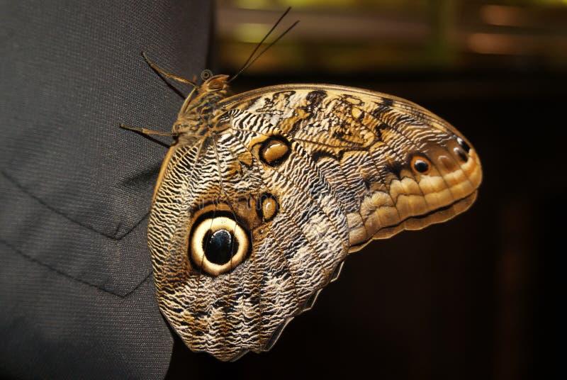 De zitting van vlindercaligo memnon op een menselijke schouderclose-up stock afbeeldingen
