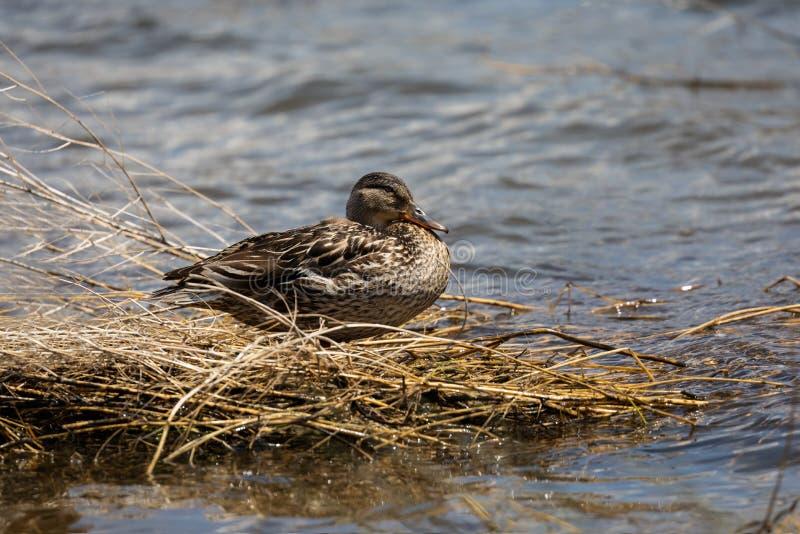 De zitting van de wilde eendeend op de meerkust royalty-vrije stock afbeelding