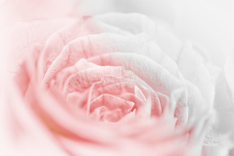 De zoete bloem van pastelkleurrozen in zachte en onduidelijk beeldstijl voor backg stock foto's