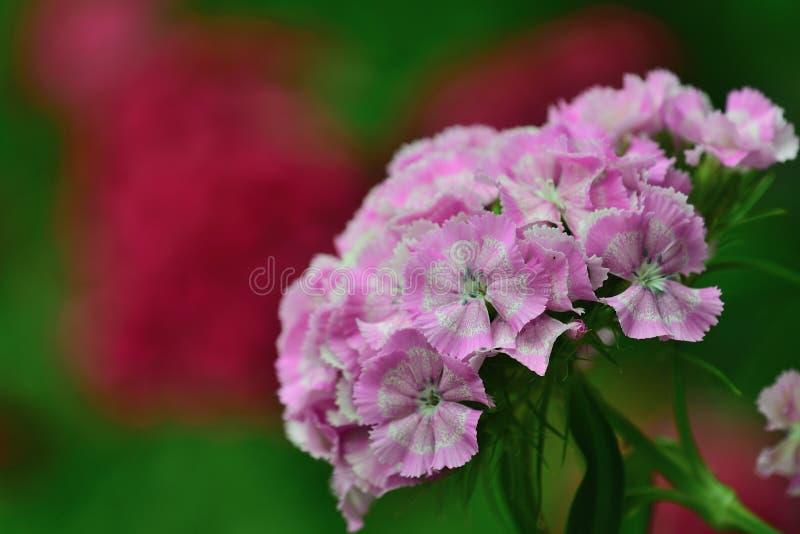 De zoete bloemen van dianthusbarbatus van William stock afbeelding