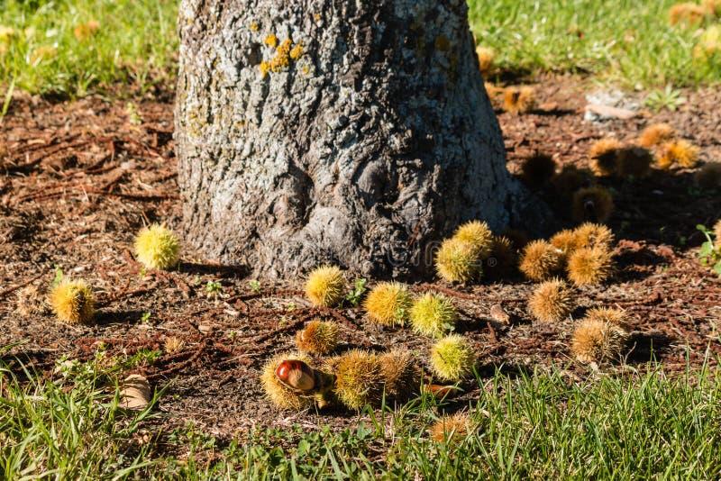 De zoete boomstam van de kastanjeboom met kastanjes stock afbeeldingen