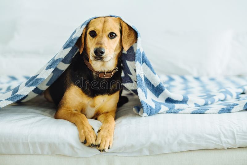 De zoete hond gluurt uit van onder de dekens Het huisdier ligt op het bed Het ontspannen en comfortabel huis comcept stock fotografie