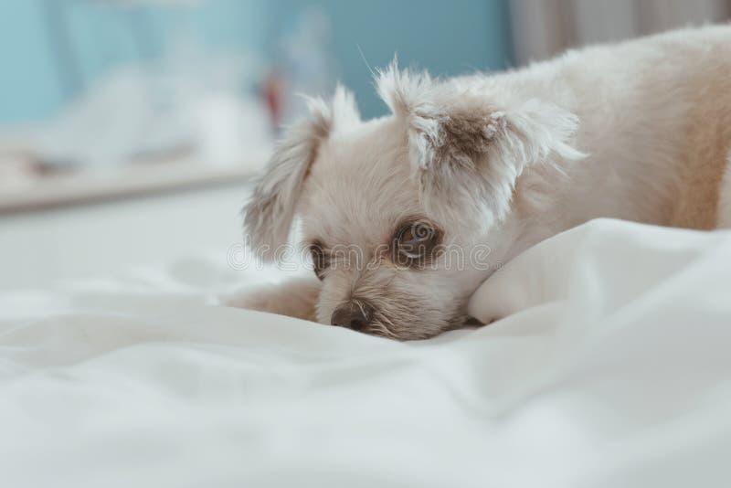 De zoete hondslaap ligt op een bed van witte sluier stock afbeeldingen