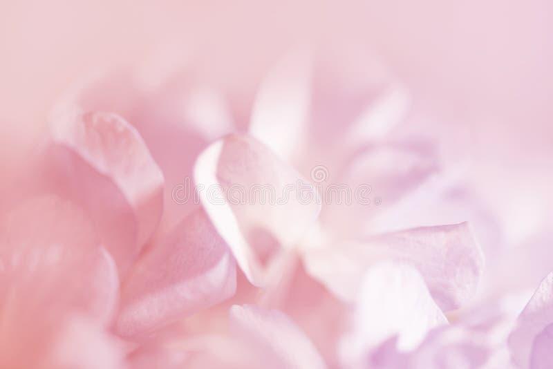 De zoete hydrangea hortensia's van de kleurenpastelkleur in zachte kleur en onduidelijk beeldstijl voor B royalty-vrije stock foto