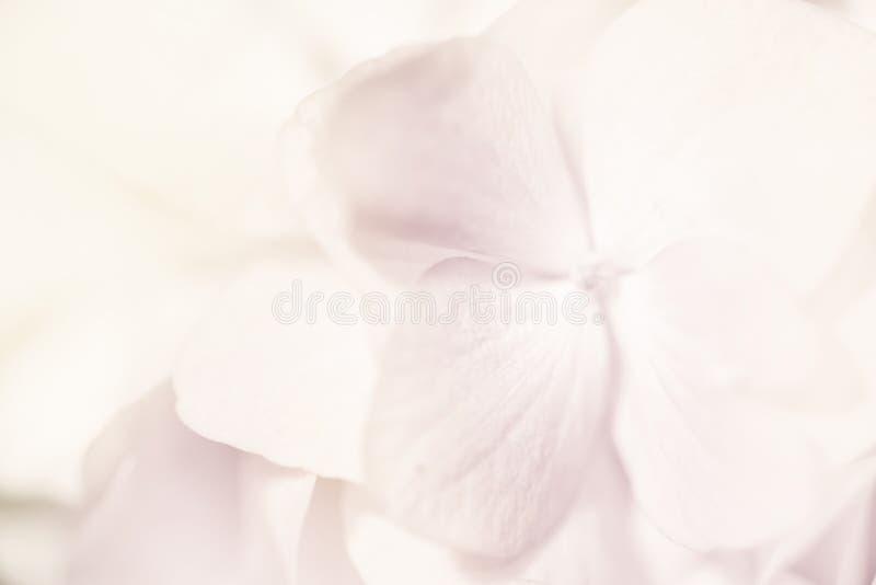 De zoete hydrangea hortensia's van de kleurenpastelkleur in zachte kleur en onduidelijk beeldstijl voor B stock fotografie