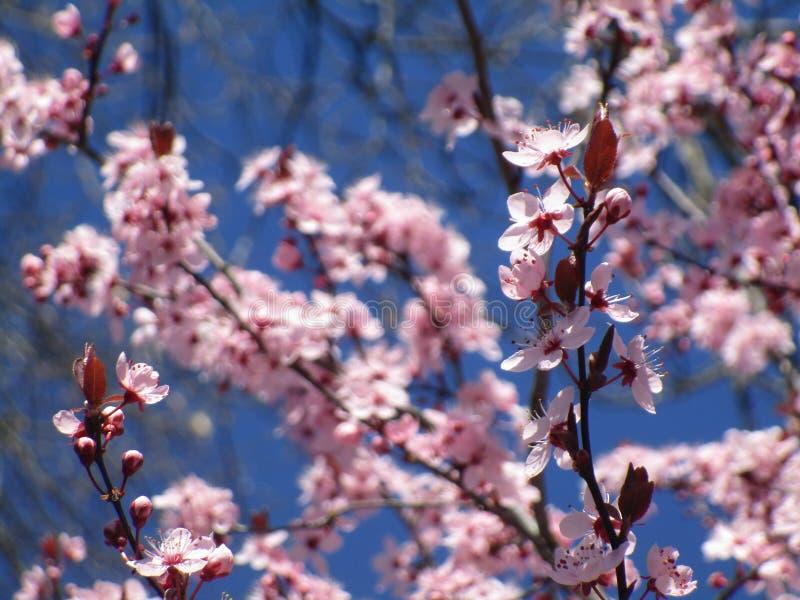 De zoete lichtrose en witte bloemen die van de kersenbloesem in de lente bloeien royalty-vrije stock fotografie