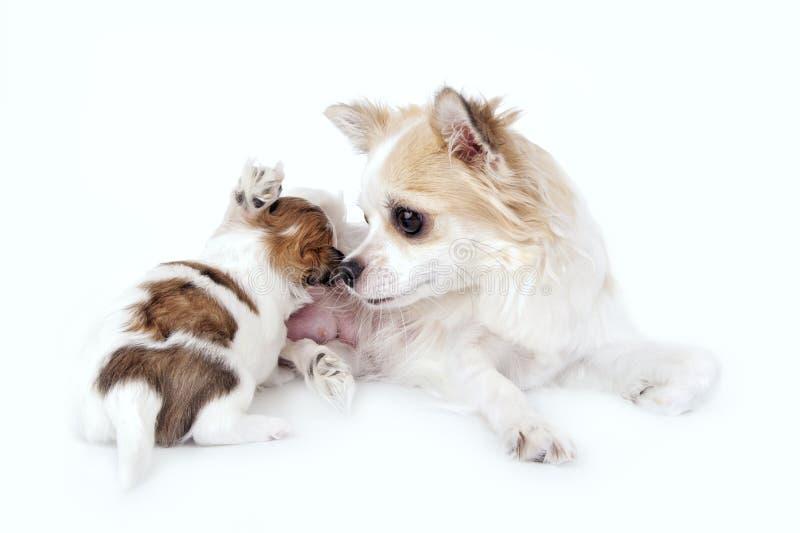 De zoete moeder die van de chihuahuahond haar puppy verzorgt stock afbeeldingen