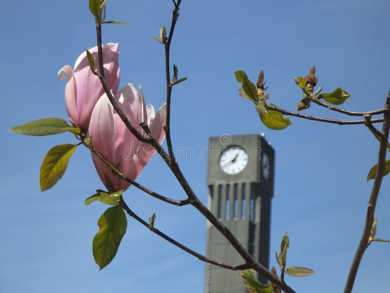 De zoete roze lente bloeit dicht omhoog met klokketorenachtergrond royalty-vrije stock fotografie
