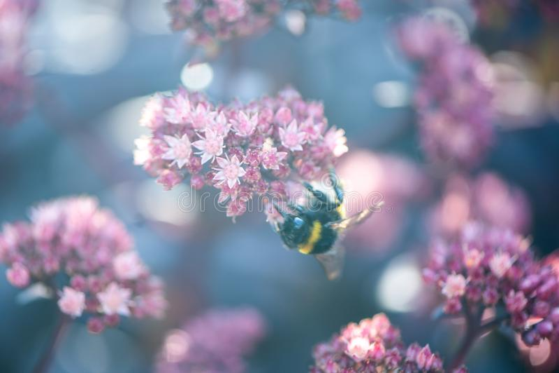 De zomer, de achtergrond van de de lentefee Grote hommel in bloemen stock afbeeldingen