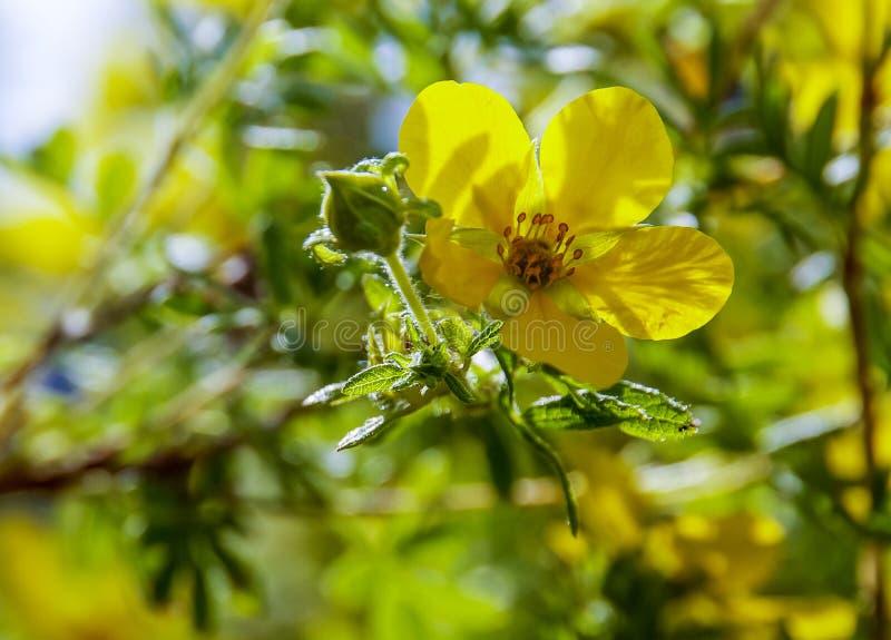 De zomer in bloei - sluit omhoog van een gele bloem stock afbeelding