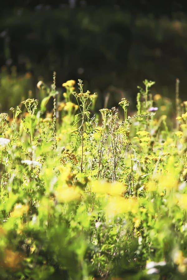 De zomer bloeiende weide Gele bloemen van Gemeenschappelijke Tansy stock foto