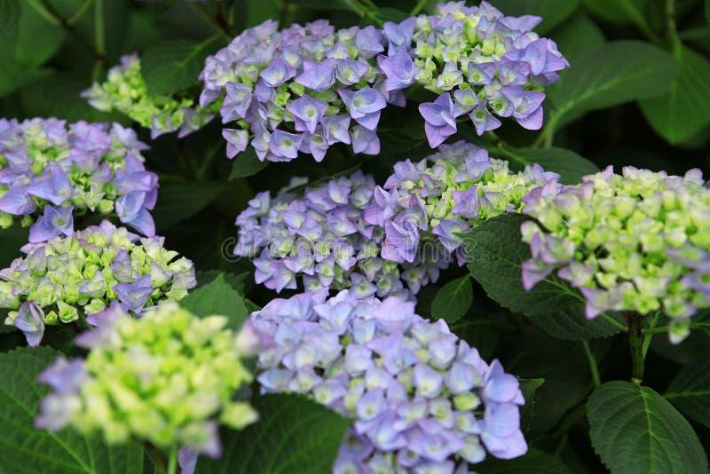 De zomer bloeit mooie blauwe hydrangea hortensia's royalty-vrije stock afbeeldingen