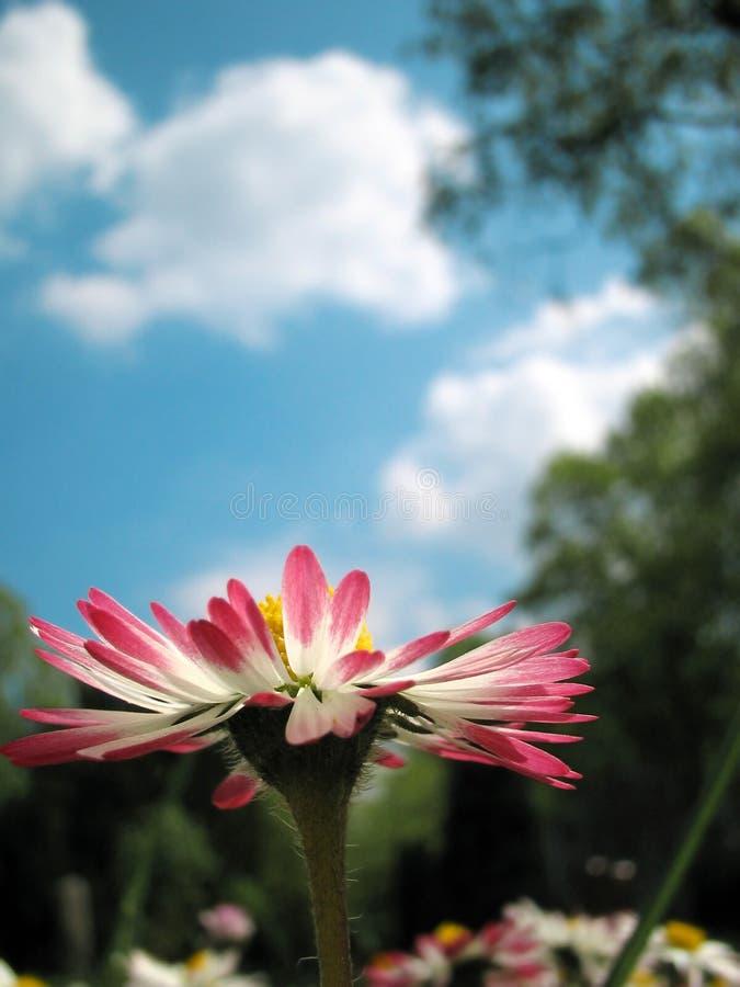 De zomer Daisy royalty-vrije stock foto