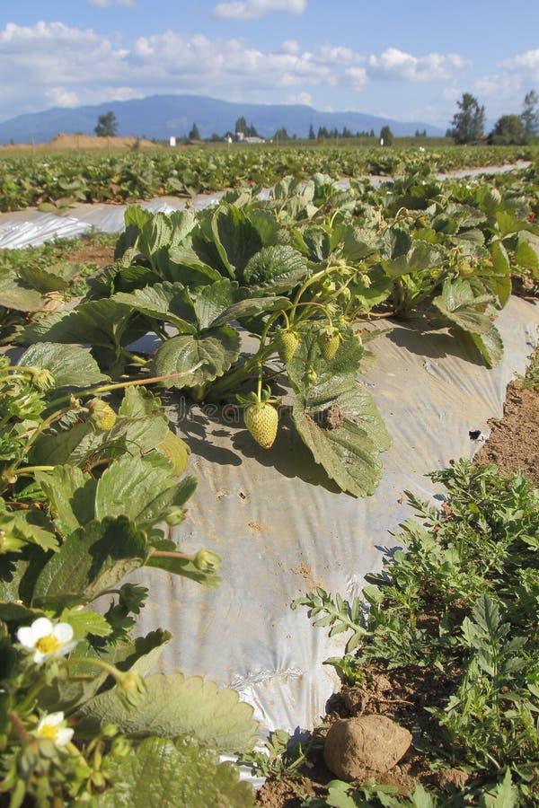De zomer die Berry Crop rijpen stock afbeeldingen