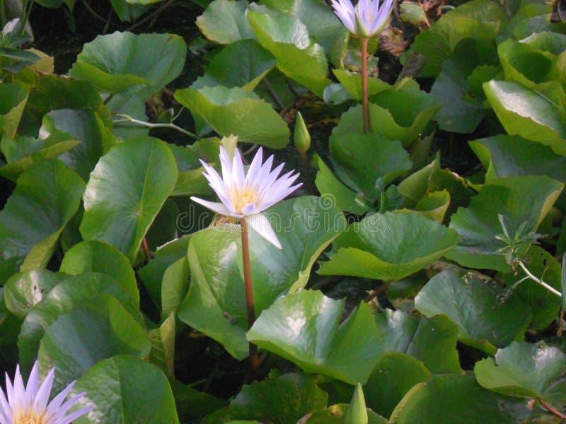 De zomer die purpere lotusbloem verblinden royalty-vrije stock foto